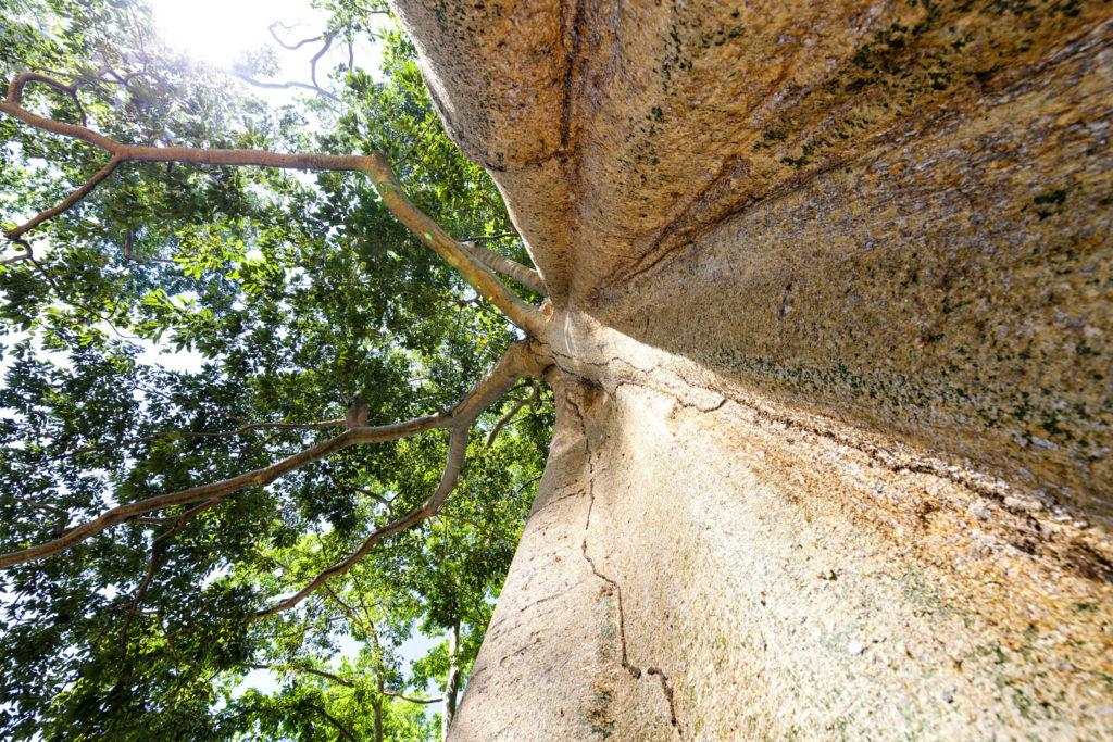 Mammoth Tree Lombok